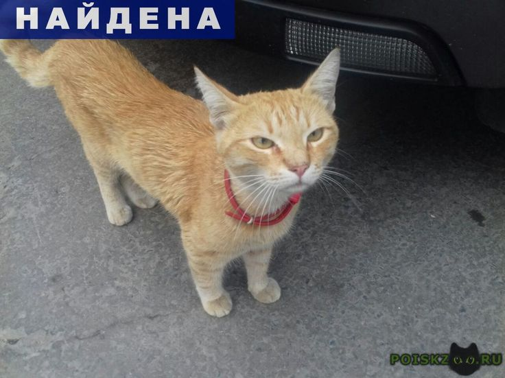 Найден кот г.Волгоград http://poiskzoo.ru/board/read28688.html  POISKZOO.RU/28688 Найден рыжий кот! Сейчас находится на территории АЗС Газпром на Каче. По словам операторов - два дня назад приходил молодой человек - разыскивал именно этого котейку в красном ошейнике. Котик появился только сегодня. Помогите найти хозяина.   РЕПОСТ! @POISKZOO2 #POISKZOO.RU #Найдена #кошка #Найдена_кошка #НайденаКошка #Волгоград