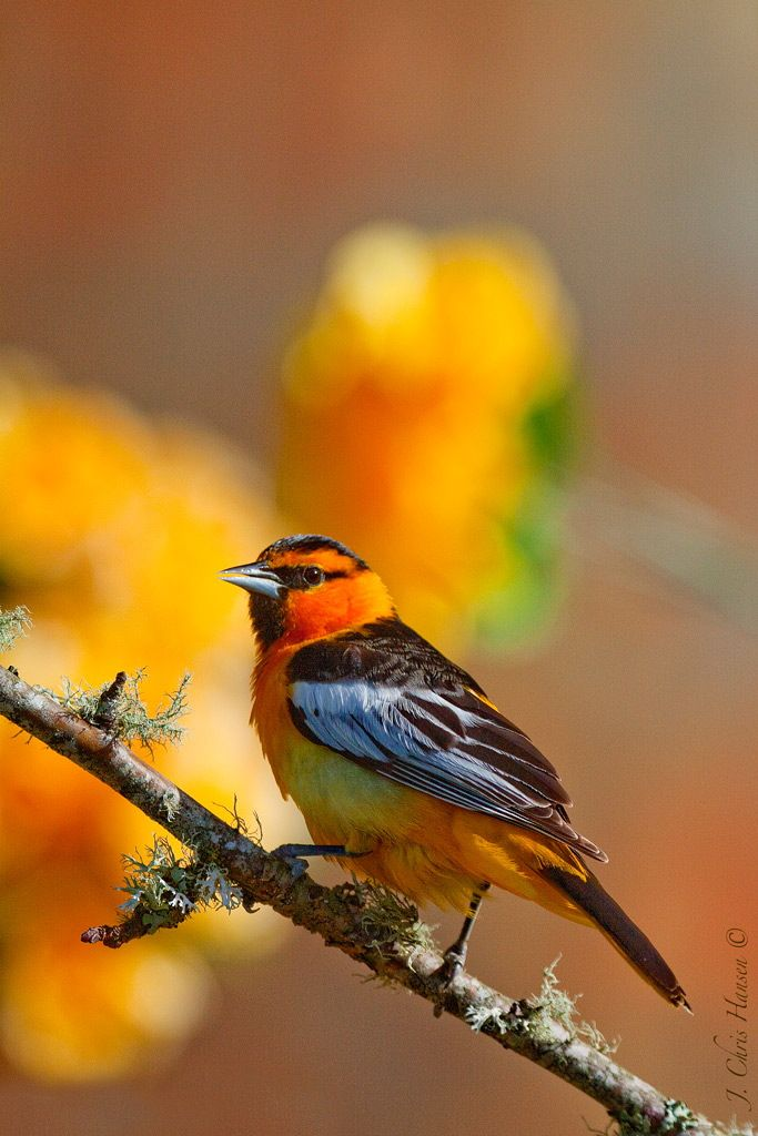 Bullock's Oriole. Beautiful bird