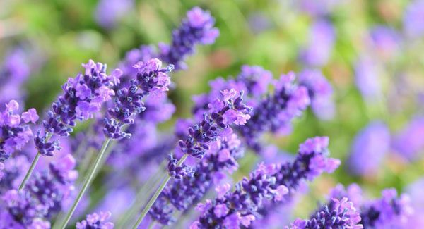VIDEO: Peter Dowdall - Lavender, a fantastic addition to any garden. | Irish Examiner