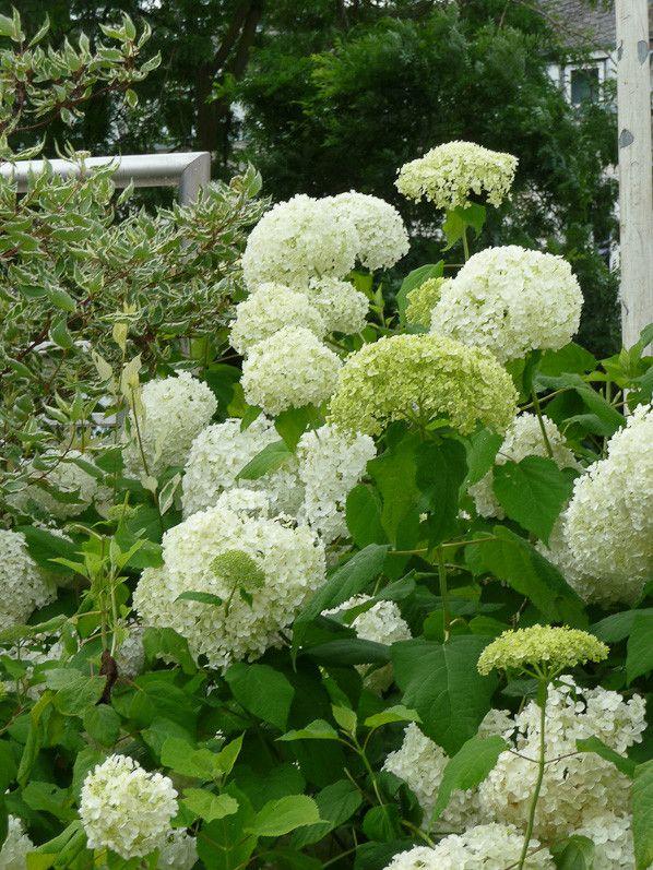 Les 25 meilleures id es de la cat gorie hortensia annabelle sur pinterest annabelle hortensias - Faut il tailler les hortensias ...