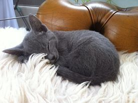 Little Betty, just arrived. Fast asleep after the long car journey. Russian Blue 9 week old kitten.