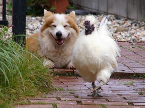 #Corgi laughing at the chicken.....Too cute!