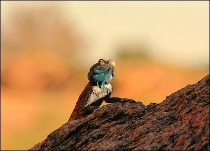 Rock Lizard, Northern Cape, South Africa