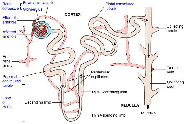 Diagrams Microscopic Forms Kidney Nephron Structure Biology Notes Loop Of Henle Anatomy