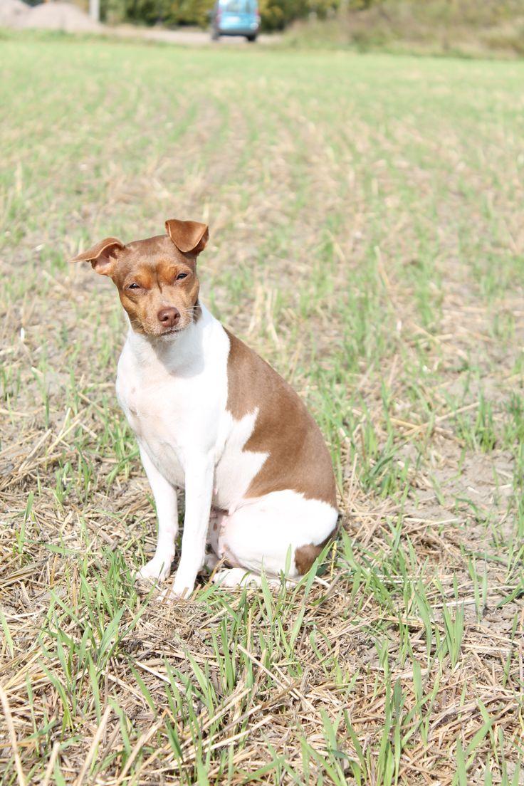 Brazilian Terrier - Terrier Brasileiro