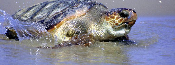 Loggerhead Turtle: Endangered
