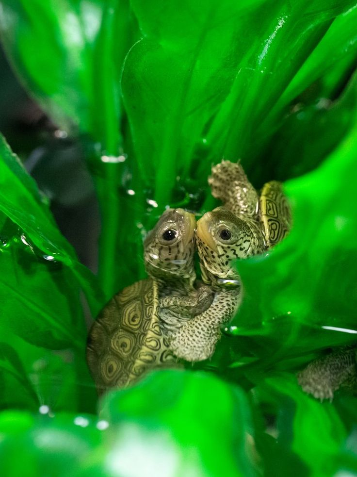 Recently, the National Aquarium's Conservation team welcomed 51 hatchling Diamondback Terrapins from the aquarium's site at Poplar Island. After passing their Animal Health exams, these tiny turtles have remained under watchful eyes for a few weeks, making sure they are gaining strength and a healthy appetite.