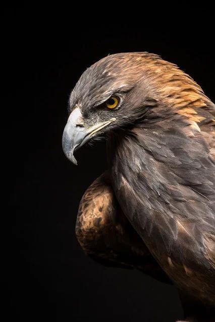 Photo: L'aigle royal (Aquila chrysaetos) un regard qui tue L'aigle royal est un des oiseaux les plus grands au monde, et le rapace diurne le plus majestueux qui soit. Rien n'échappe au regard perçant de cet aigle. Bien à l'abri sur une paroi rocheuse de haute montagne, l'aigle royal (Golden Eagle) peut surveiller son domaine et repérer les proies. Il choisit avec beaucoup de soin son territoire. De ce choix, dépend sa survie, comme il choisit une compagne pour la vie. Il courtise sa…