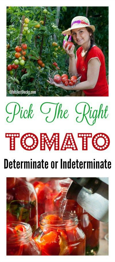 determinate and indeterminate Find out the difference between indeterminate vs determinate tomatoes and see which one is best for your garden or patio see the varieties that are popular.
