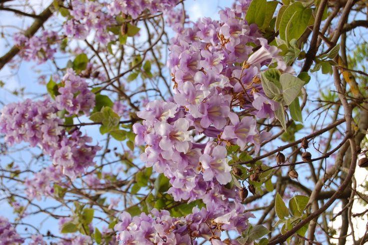 El árbol de la vida existe y se llama Paulownia Tormentosa - VeoVerde