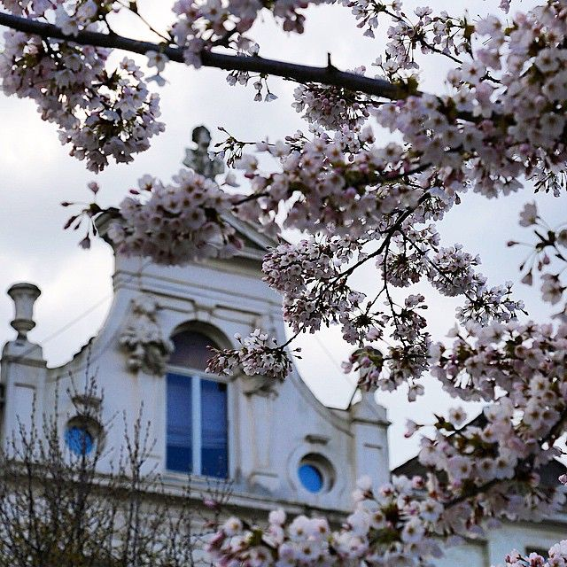 Brussels in bloom, Belgium #cherry-blossoms. Picture by  @parisatfirstsight