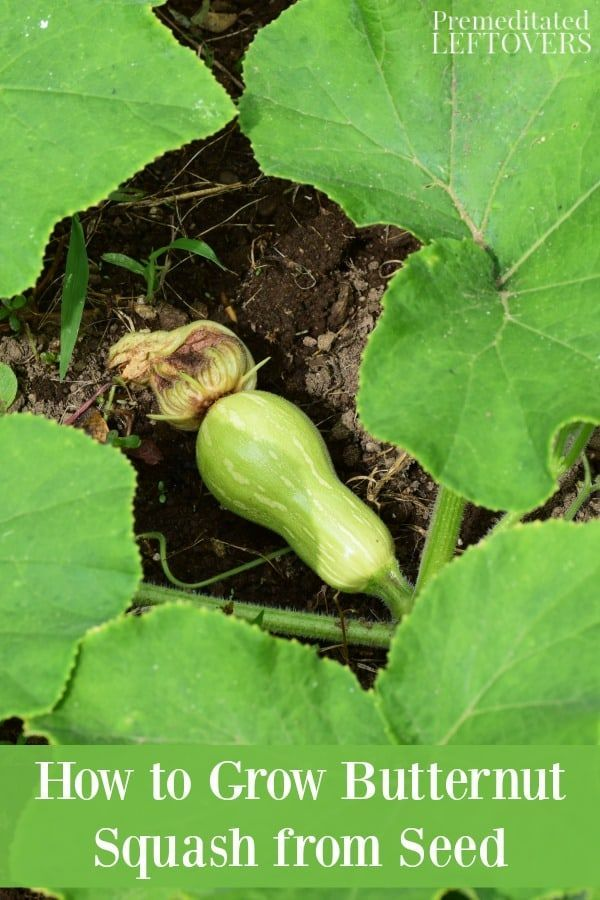 This Guide On How To Grow Butternut Squash Will Teach You How To Plant Butternut Squash Seeds A Growing Butternut Squash Growing Vegetables Planting Vegetables