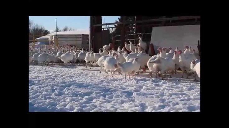 Petit vidéo de nos dindes, boeufs, vaches et veaux s'amusant dans les premiers centimètres de neige de l'hiver! Devinez ce que nos bovins mangent en hiver? Eh oui! La même chose qu'en été, de l'herbe biologique!