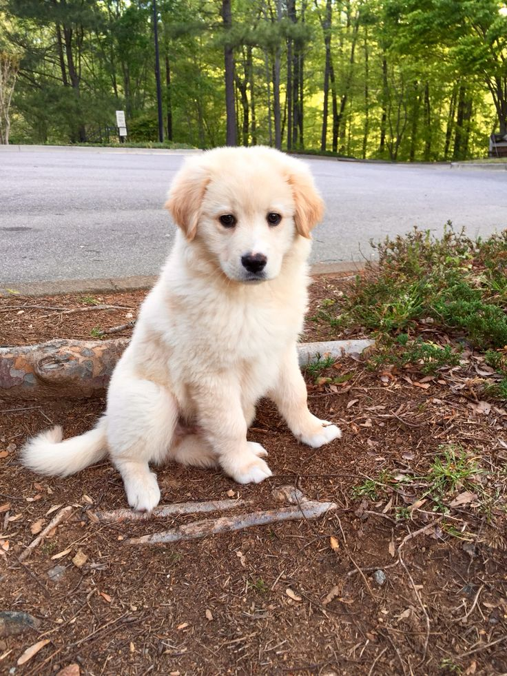 Lab / Golden Retriever Mix