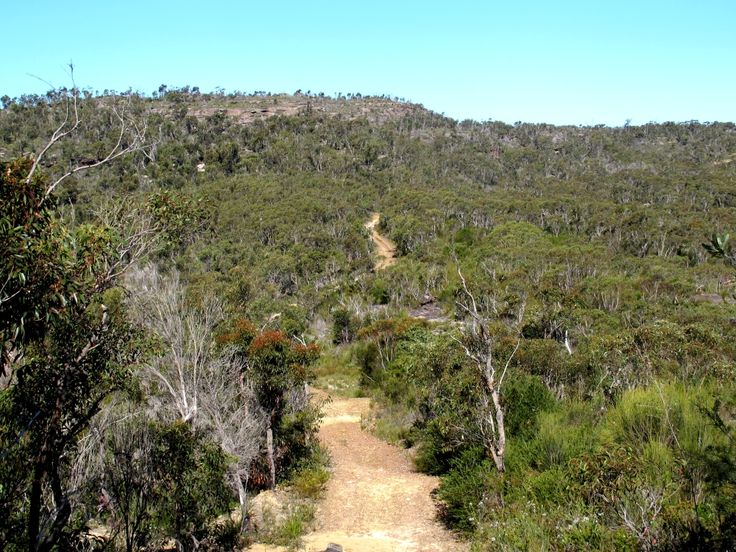 This is what the bush looks like. The track we were on is what is called a fire trail. It leads to Waratah Trig station, so it is called the Waratah Track.  It goes off the West Head Road in Ku0ring-gai Chase National Park. I worked there in 1969-70.