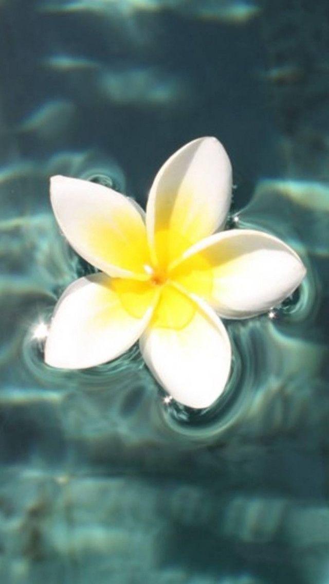 Plumeria Floating On Pool #iPhone #5s #Wallpaper