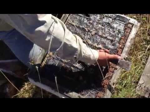 En este video le mostramos una metodología de mejoramiento productivo de miel de abejas basado en la producción de nucleos o colonias de abejas de cuatro cua...