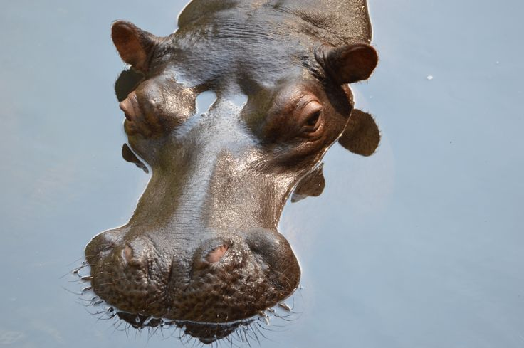 """Jessica the Hippo is a """"tame"""" hippo that was washed up to her owners door as a baby and they hand reared her, beautiful to get so close to this majestic creature."""