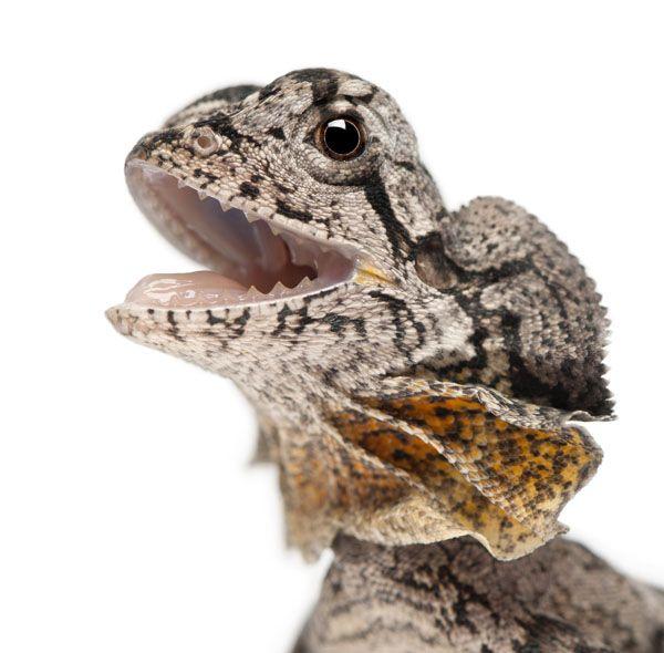 17 Best images about Frilled Lizard (Chlamydosaurus Kingii ...