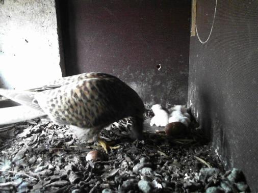 Baby Falcons - so cute  ♥