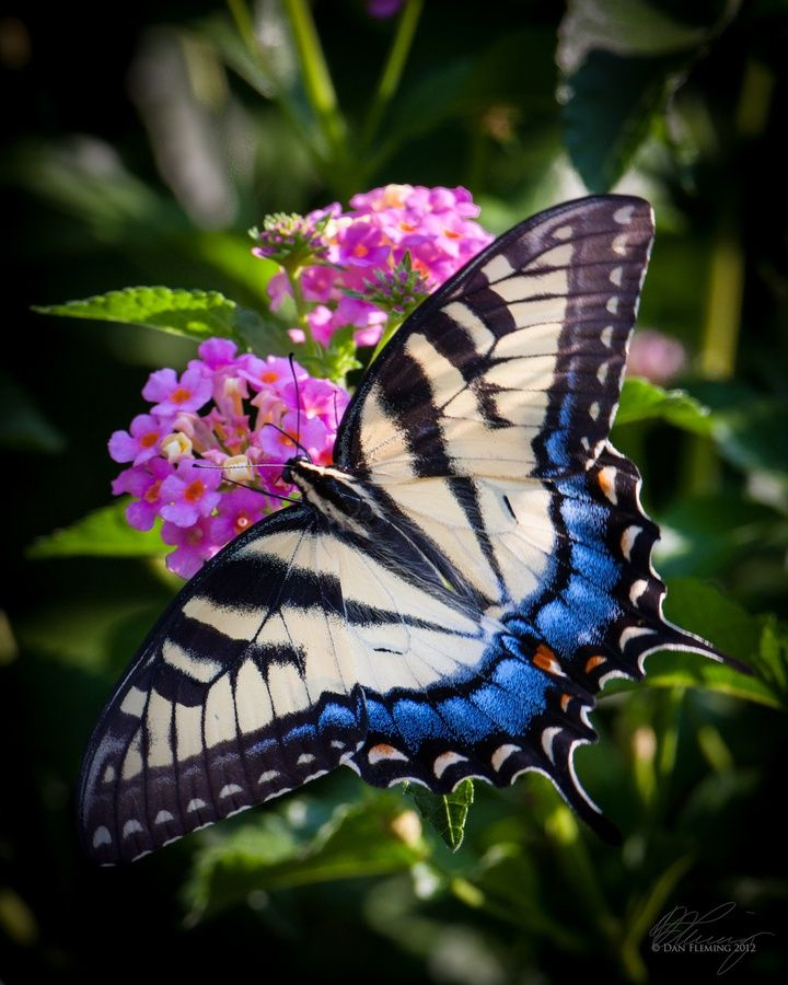 Swallowtail on Lantana