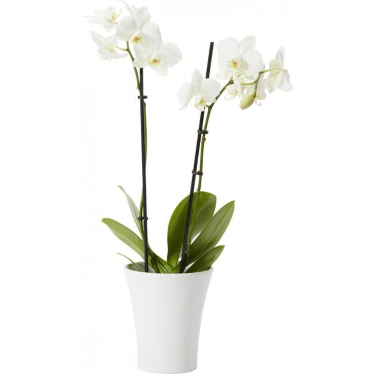 Ihana ruukkukasvi, jossa on kauniita ja erittäin kestäviä kukkia korkeissa ja eleganteissa varsissa. Pitkä kukinta-aika. Viihtyy valoisalla paikalla. Vältä suoraa auringonpaistetta. Anna kuivua hieman kastelukertojen välillä. ...