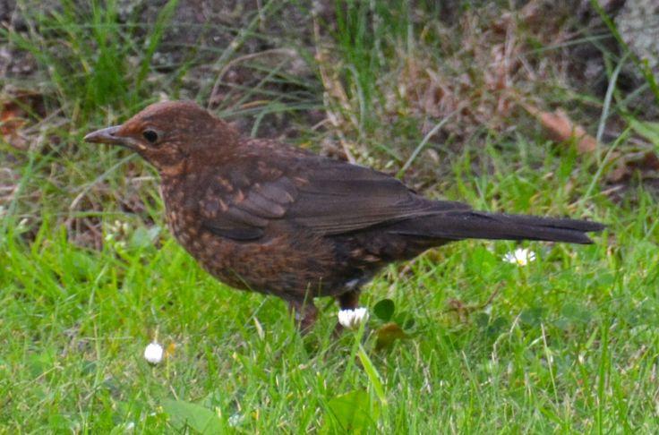 Solsort hun, Fredens Kirkegård, Odense. #Solsort #SolsortHun #Blackbird #BlackbirdFemale #DanskeFugle #HenryRasmussen