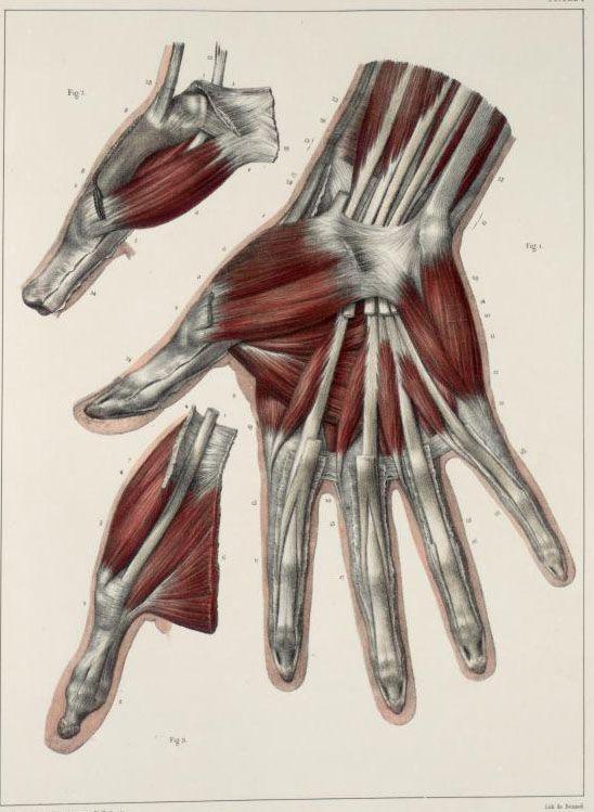 ☤ MD ☞☆☆☆ [Traité complet de l'anatomie de l'homme comprenant la médecine opératoire (https://pinterest.com/pin/287386019941966857/), par le docteur Jean-Baptiste Marc Bourgery (https://pinterest.com/pin/287386019948321810). Illustration by Nicolas Henri Jacob, 1831-1845]. Tome 2.