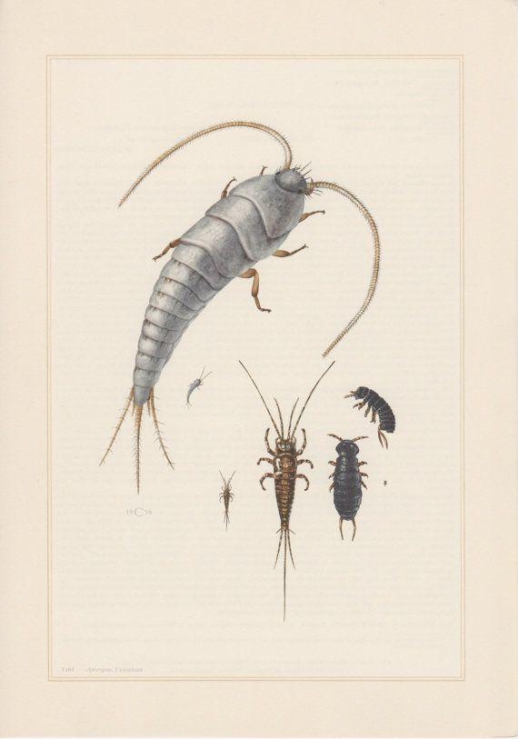 1956 silverfish Print Vintage lithographie, insectes Print, entomologie, Apterygota, Podura aquatica, eau collembole, Lepisma saccharina