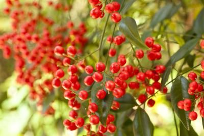 Care for Nandina Plants