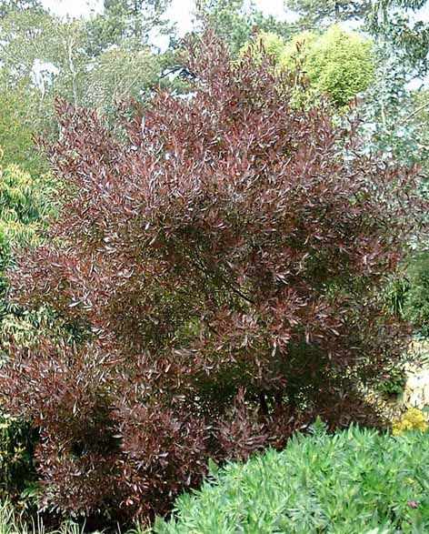Dodonea Viscosa U0027Purpureau0027 A Large Shrub Or Trained As A Small Tree, Low  Water, To Feet