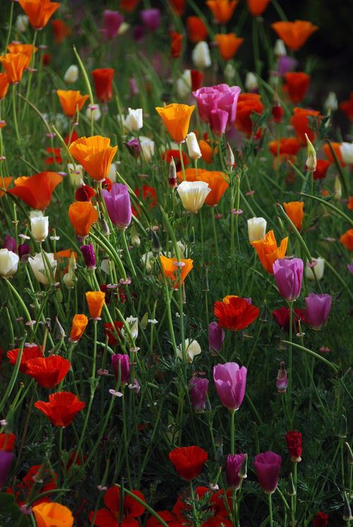 Color of poppies garden inspiration poppies in all colors mightylinksfo Gallery