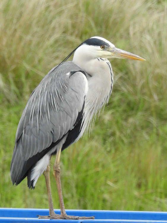 Oiseaux - Héron cendré - Ardea cinerea - Parc de la plage bleue à Valenton