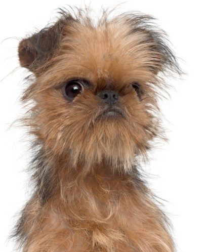 "Also known as the Brussels griffon, the Griffon Bruxellois has a fringe around his expressive face. They weigh about 6 to 12 pounds and are cheerful, with plenty of personality. They can be taught to perform tricks. A Brussels griffon starred in the Jack Nicholson movie ""As Good as it Gets."""