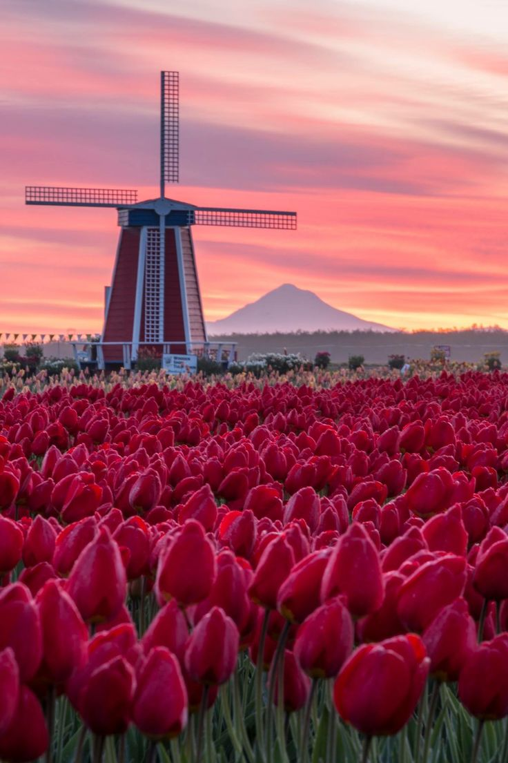 Of tulips cecila san tags flower field photoshop vintage tulips - Sunrise At The Wooden Shoe Or