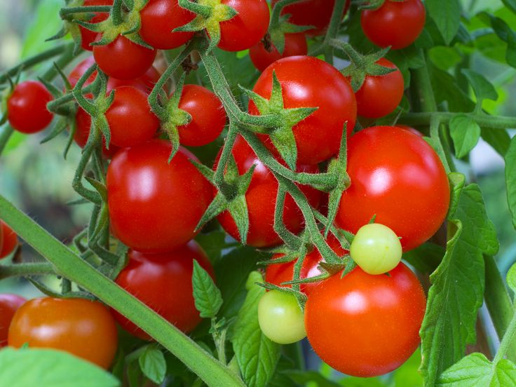 Tomato- tomate
