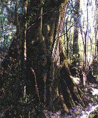 Featured Art - Ancient Pandanii Cradle Mountain Gondwana Rainforest  by Sarah  King