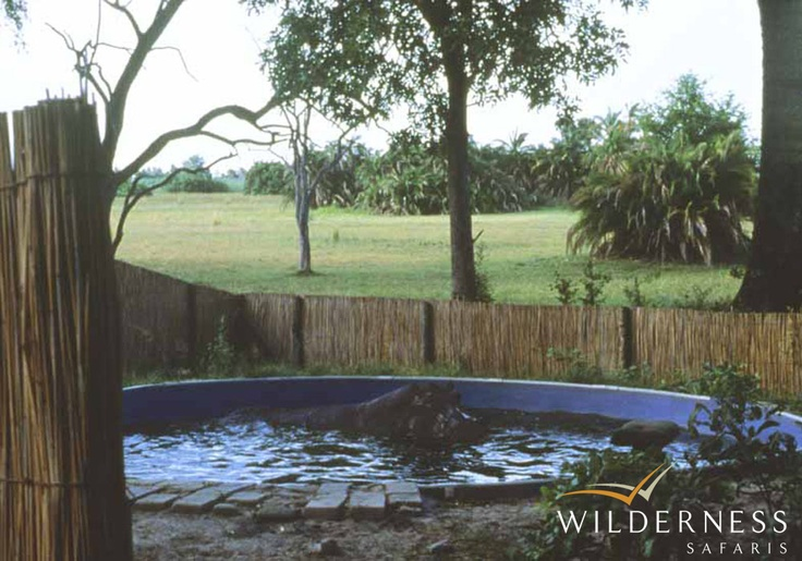 Humble beginnings – There is a hippo in the Mombo swimming pool. Click on the image for the full story.
