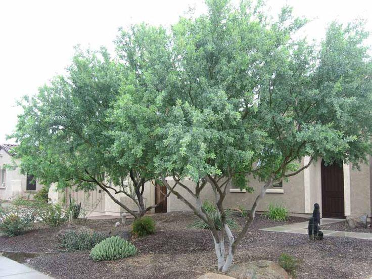 desert-ironwood-tree