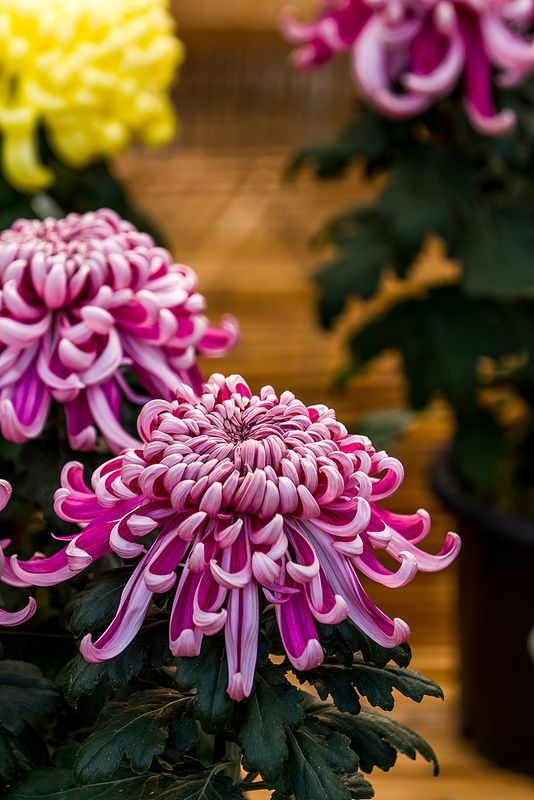 Japanese Chrysanthemum 日本菊 | by olvwu | 莫方