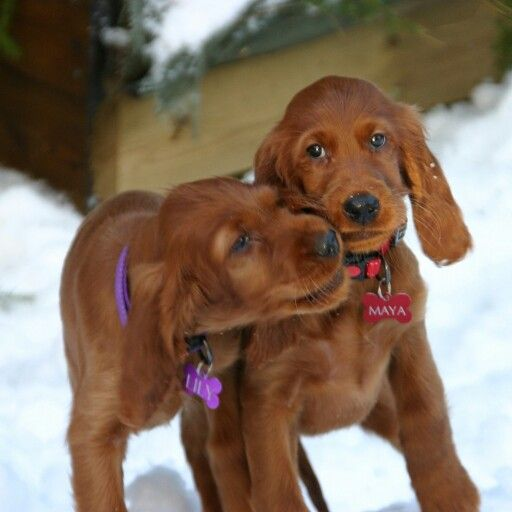 Irish setters Lily and Maya. Our new familymembers. <3