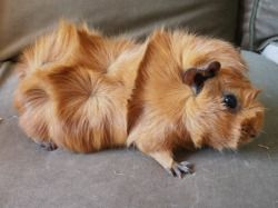 Abyssinian Guinea pig   Different Breeds of Guinea Pigs - Moo Moo Pets Blog
