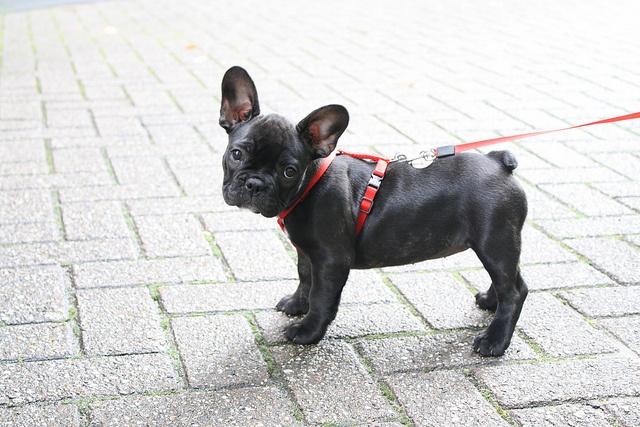 ?Bulldog Frances, French Bulldogs Puppies, All Black, Puppies Dogs Eye, Puppies Eye, French Bulldog Puppies, Little Dogs, Animal, Bulldogs France