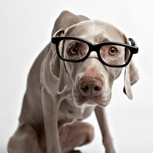:): Doggie, Cutest Dogs, Old Dogs, Smarty Pants, Hipster Dogs, Pet, Geek Chic, Weimaraner Dogs, Animal