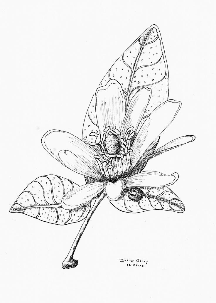 Fleur d'oranger - plume et encre de chine