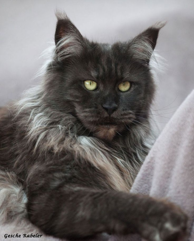 Shaded smoke maine coon cat.  My Graelyn was just like this one http://www.mainecoonguide.com/where-to-find-maine-coon-kittens-for-sale/