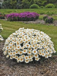 """Leucanthemum superbum 'Whoops-a-Daisy' * Shasta Daisy * Walters Gardens, Inc. * Zones: 5-9 * Forms an exceptionally dense, rounded ball-shaped mound of dark green foliage that becomes completely blanketed in large 3-4"""", white flowers with gold centers from early through midsummer. It has better flower coverage and a more uniform habit compared to 'Snowcap', and the individual flowers have a fuller, fluffier appearance. * Grows to 15"""" x 22"""" * #daytonnursery #flowers #perennials"""