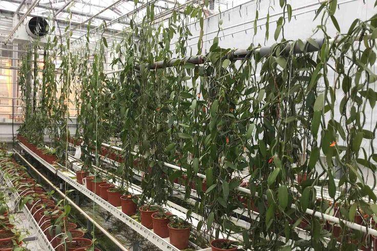 WAGENINGEN - De mogelijkheden om vanille te telen in Nederland worden sinds enkele jaren onderzocht door een consortium van Wageningen UR Glastuinbouw en telers onder de titel NederVanille. Inzet is het van origine Zuid-Amerikaanse vanilleplantje ofwel de vanille orchidee.  NederVanille Het is weer eens wat anders. Geen orchideeën in de kas voor op de