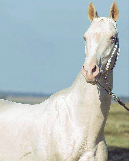 Achal-Tekkiner gelten regelmäßig als die schönsten Pferde der Welt.   – Animal Photography | Mammal photography