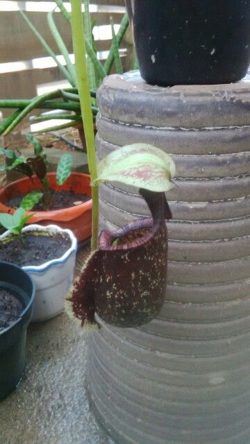 Nepenthes Kalimantan